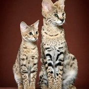 ~Savannah Cat From U.S.A~